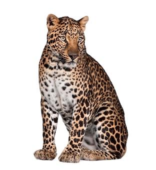 Retrato de leopardo, panthera pardus, sentado