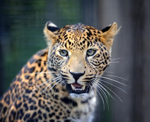 Retrato de leopardo zangado de perto