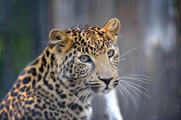 Retrato de leopardo Foto Premium