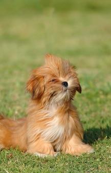 Retrato, de, lhasa apso, cachorro filhote cachorro