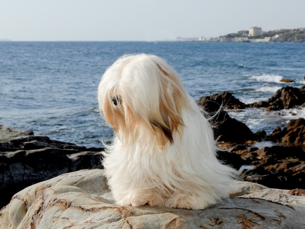 Retrato, de, lhasa apso, cão