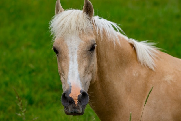 Retrato de lindo cavalo na grama.