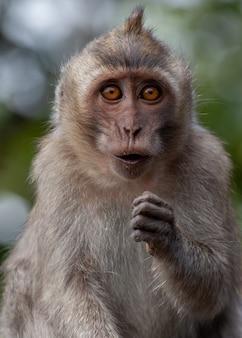 Retrato de macaco de cauda longa