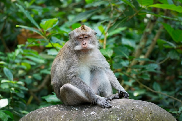 Retrato de macaco relaxar sente-se na rocha