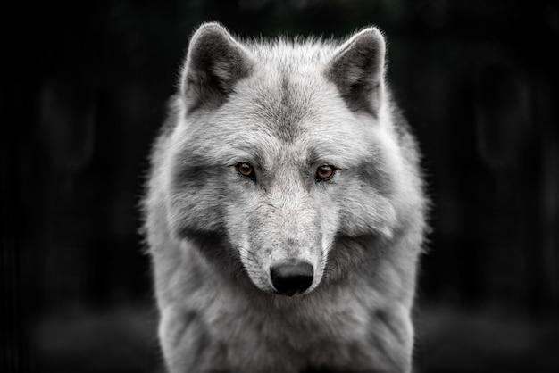 Retrato de macho jovem bonito de lobo polar.