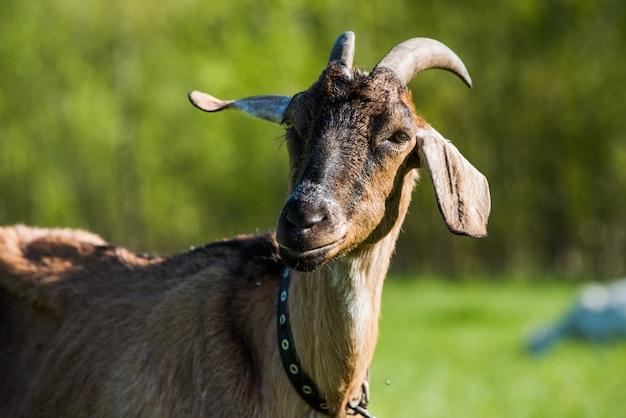 Retrato de mãe cabra do lado de fora em uma fazenda.