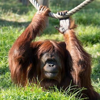 Retrato de orangotango em um zoológico