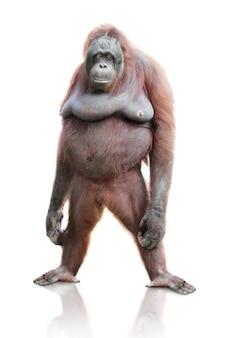 Retrato de orangotango isolado