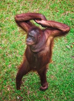Retrato de orangotango no gramado verde