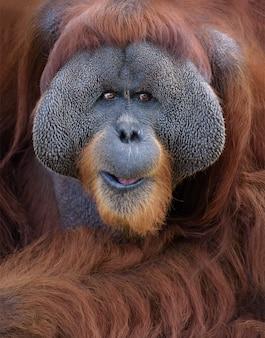 Retrato de orangotango