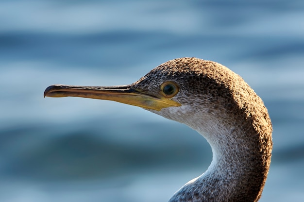 Retrato de paisagem, jovem espécime de grande corvo-marinho, repousando sobre rochas na costa do azul do mar mediterrâneo