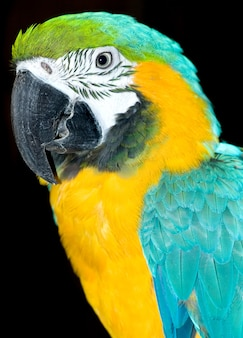 Retrato de papagaio colorido isolado no preto