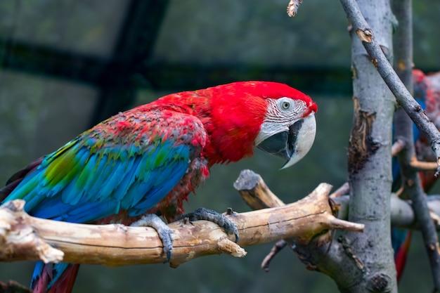 Retrato de papagaio de arara vermelha colorido contra o fundo de ramos de madeira.