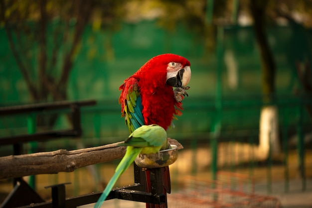 Retrato de papagaio escarlate colorido com papagaio verde no zoológico comendo nozes