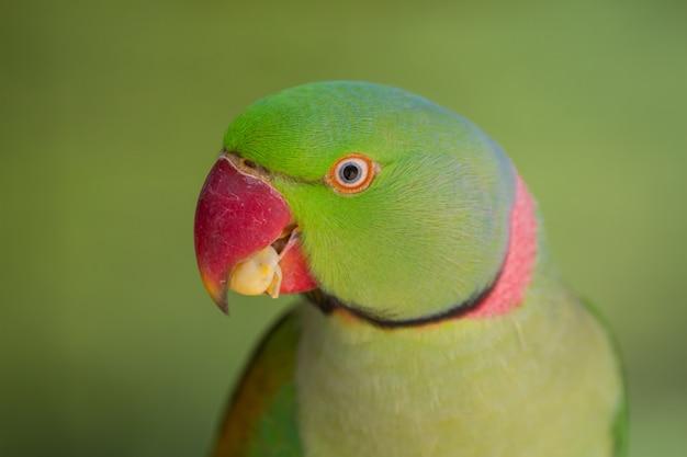 Retrato, de, papagaio verde