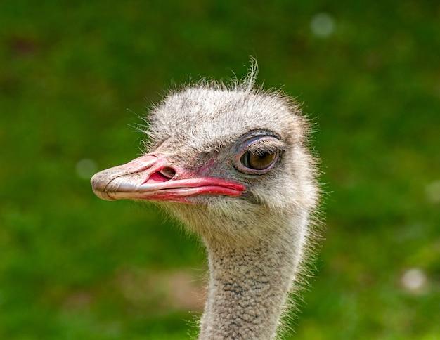 Retrato de pássaro avestruz