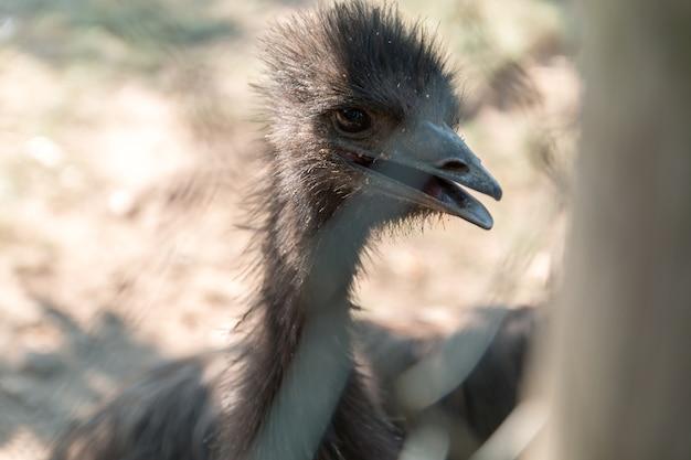 Retrato de pássaro emu no zoo