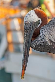 Retrato de pássaro pelicano