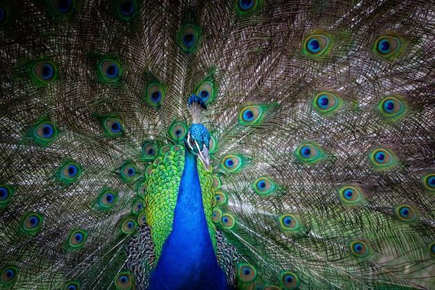 Retrato de pavão macho com cauda aberta