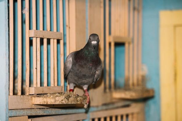 Retrato, de, perched, pombo