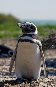 Retrato de pinguins de magalhães na argentina, península valdes