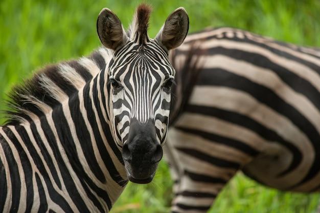Retrato, de, planícies, (burchells), zebras, (equus, burchelli)