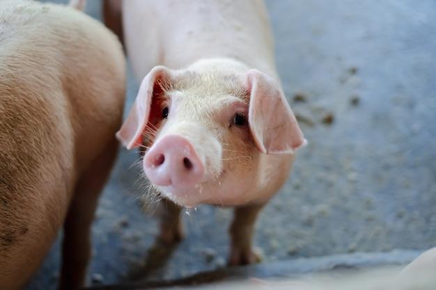 Retrato de porco pequeno