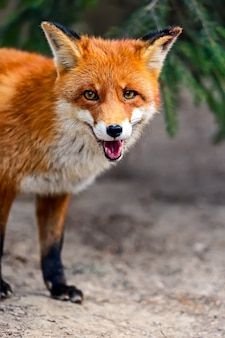 Retrato de raposa em habitat natural
