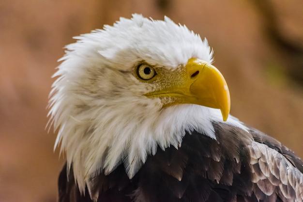 Retrato de rosto de águia americana, (haliaeetus leucocephalus)