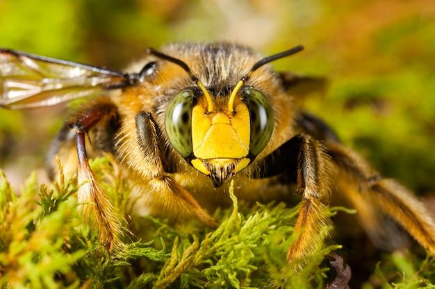 Retrato de rosto de zangão de alta ampliação - olhos compostos