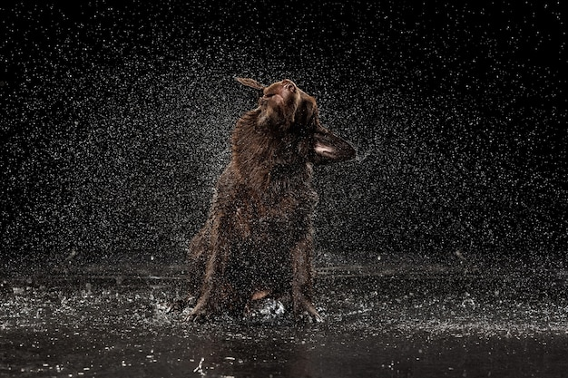 Retrato de salpicos de água de um grande cão labrador cor de chocolate brincando de tomar banho