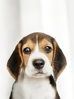 Retrato de solo adorável cachorro beagle