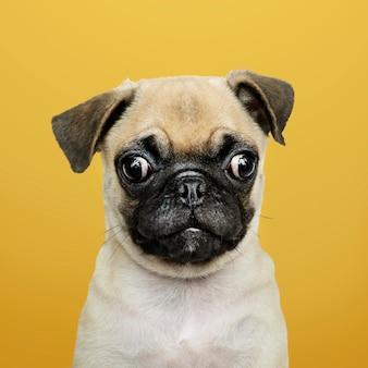 Retrato de solo adorável cachorro pug