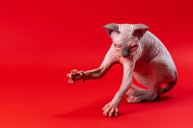 Retrato de sphynx gato sem pêlos de vison azul e cor branca sentado