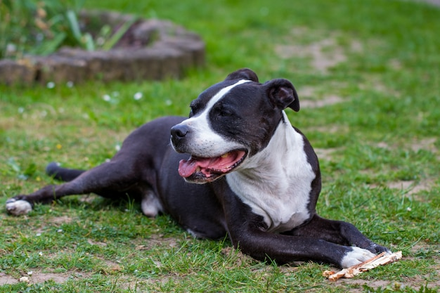 Retrato de staffordshire terrier deitado na grama.