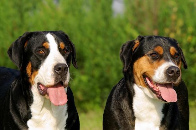 Retrato, de, suíço, montanha, cão