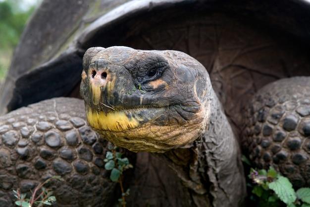 Retrato de tartaruga gigante