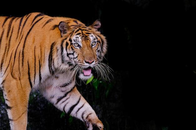 Retrato de tigre de um tigre de bengala na tailândia