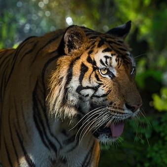 Retrato de tigre.