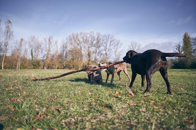 Retrato de três cães mordendo um galho de uma árvore caída no chão