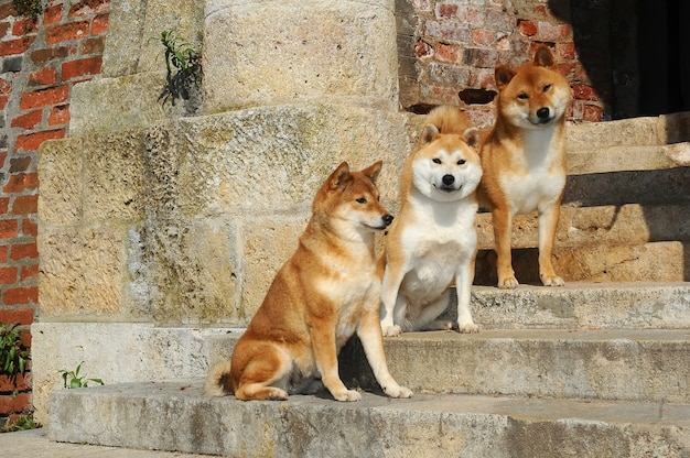Retrato de três cães shiba