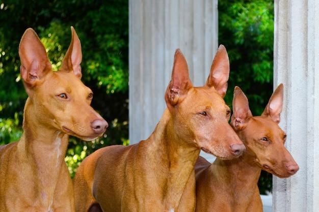 Retrato, de, três, cirneco dell, etna, cachorros
