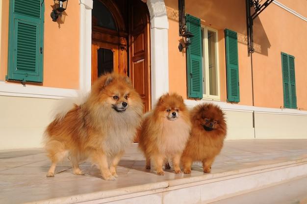 Retrato, de, três, pomeranian, cachorros