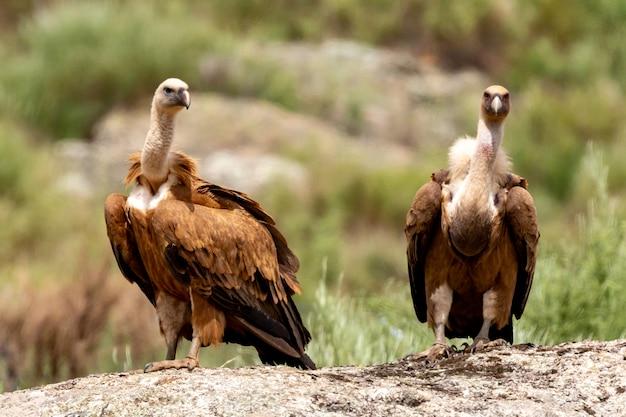 Retrato de um abutre adulto marrom