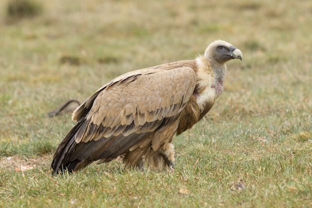 Retrato de um abutre de pé na grama