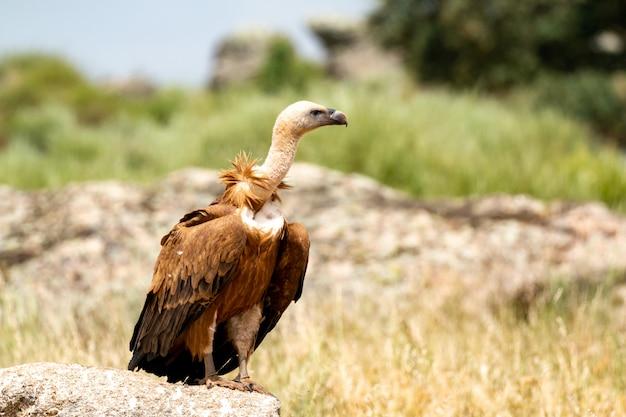 Retrato de um abutre