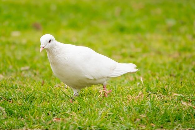 Retrato de um adorável pombo branco no campo verde