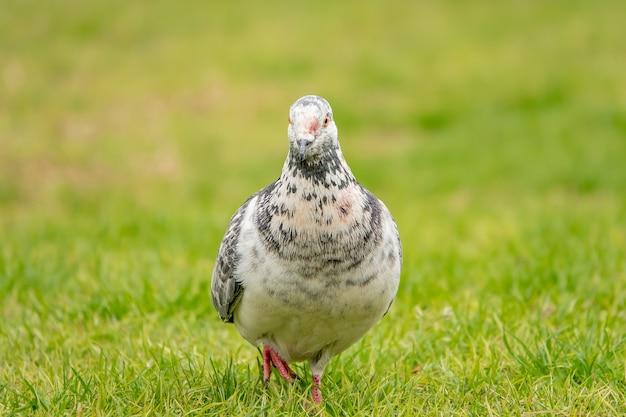 Retrato de um adorável pombo pintado no campo verde