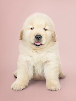 Retrato, de, um, adorável, retriever dourado, filhote cachorro
