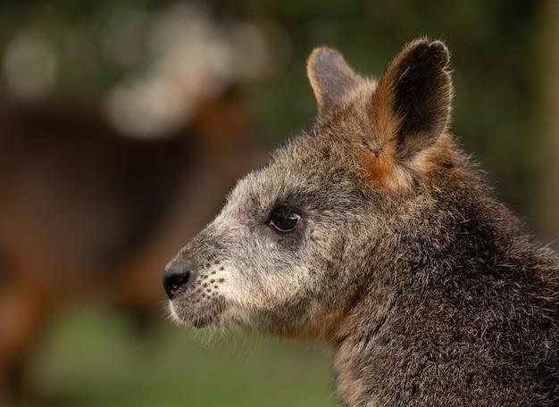 Retrato de um adorável wallaby olhando para a esquerda